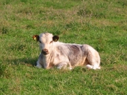 A Tetford calf resting in the sunshine.
